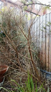 Dead broom plant #ichallengems